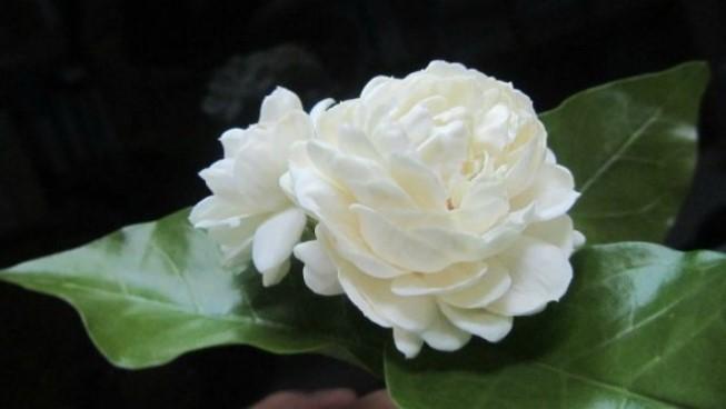 Cả hoa và rễ cây hoa nhài đều có thể trị mất ngủ