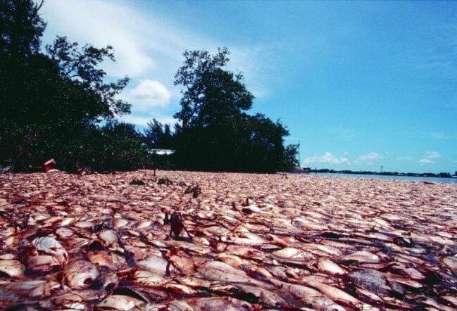 Tác hại của thủy triều đỏ tới sinh vật biển vô cùng nghiêm trọng