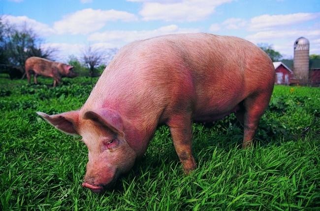 Dịch tả lợn châu Phi có lây sang người không